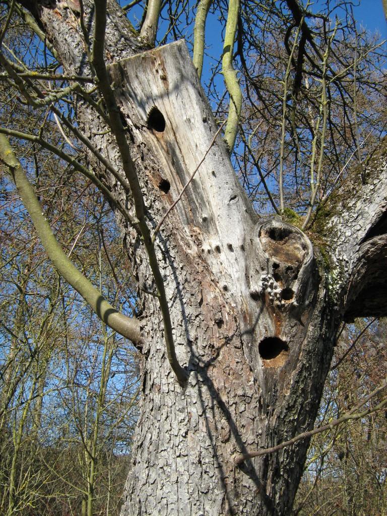 Alter Obstbaum mit Spechthöhlen